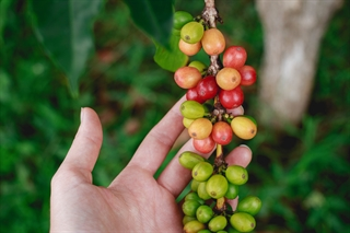 Coffee plant, beans, fruit
